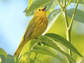 yellow_warbler_williamjobes