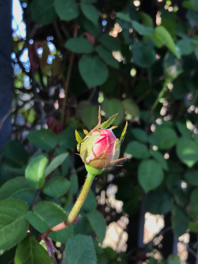 Inspire budding spring rose