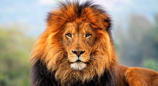 lion-2 (2)